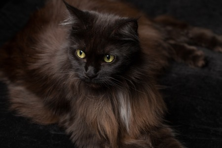 Studio Portrait of a beautiful Maine Coon Cat against Black Background. Can be used for Halloween. Stock Photo