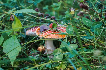 shamanism: Mushroom fly agaric among grass Stock Photo