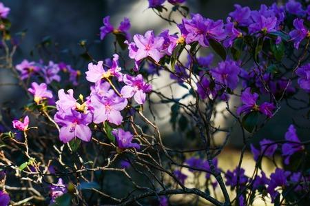 Tree blooming with purple flowers