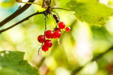 A bunch of red currants on a branch.