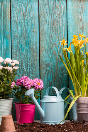 Image of colorful chrysanthemums in pots, watering cans near wooden fence