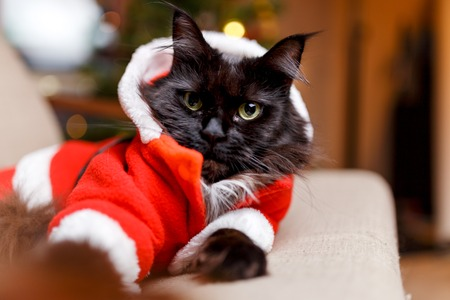 Photo of New Years cat in Santas costume