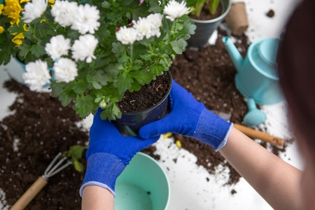 Photo on top of mans hands in blue gloves transplanting flower Stock Photo