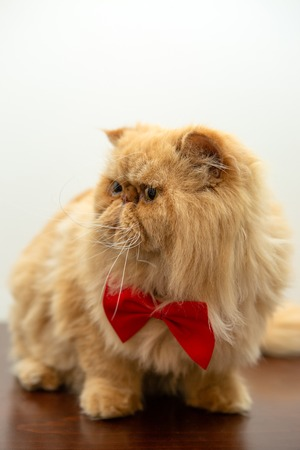 Image of ginger cat in red bow tie sitting