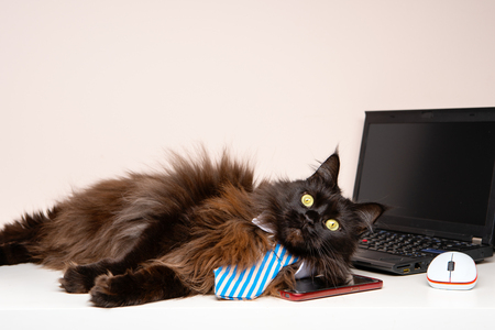 Image of main coon cat in striped tie with laptop Stockfoto
