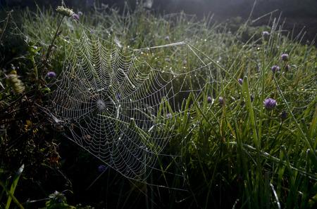 cebolleta: cebollino flor y tela de araña Foto de archivo