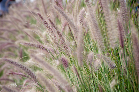 Beautiful picture of Grass field (Setaria verticillata) in the morning