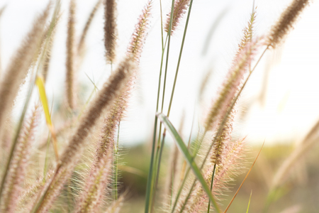 Beautiful views of the golden meadow(Setaria verticillata) on the mountain. In the morning with fresh air.