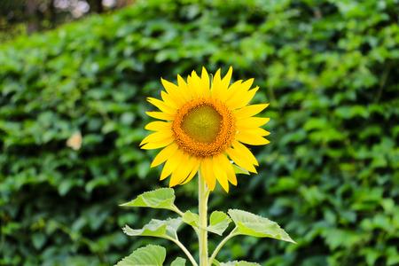 plantae: Sunflower