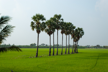 Palm trees in rice fields