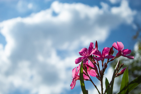 Pink Nerium oleander L. flower with a bright blue sky.