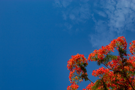 The beauty of a red flower or Caesalpinia pulcherrima   (L.) Sw. with a bright blue sky.