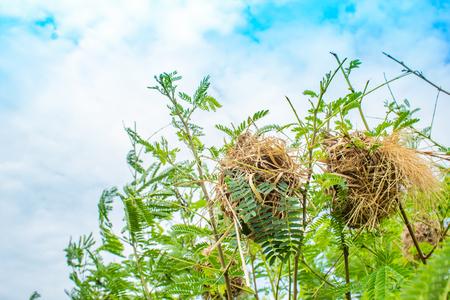 Bird nest made of grass on trees.