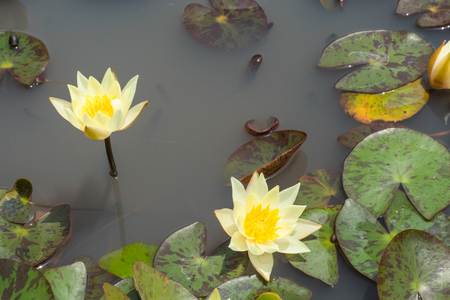 Yellow Lotus Flower in garden. Stock Photo