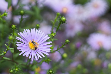 Bee on Symphyotrichum novae-angliae in gardens. 写真素材
