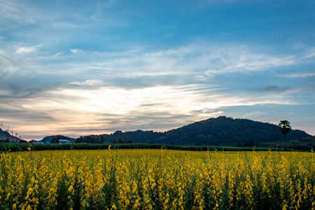 Yellow Crotalaria juncea L. flower background mountains and the sunset light. Reklamní fotografie