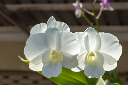 The beauty of the white orchid in the garden. Banco de Imagens