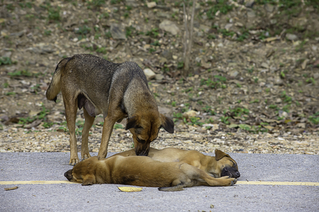 The mother dog cleans the puppy lying on the road.