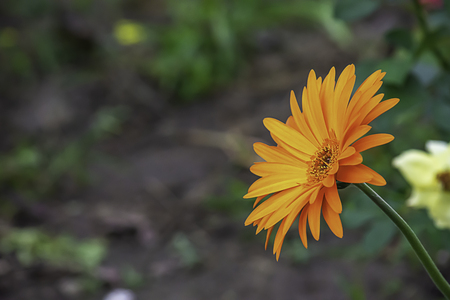 Orange flower or Zinnia Bright colors in garden. Stockfoto
