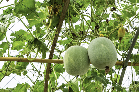Winter melon many trees on the farm. Banque d'images