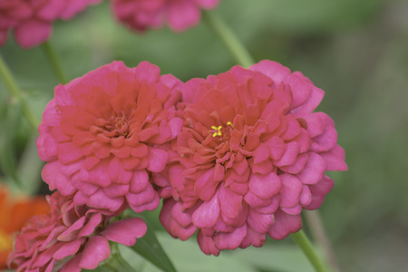 Pink Zinnia Bright colors attract insects. 免版税图像
