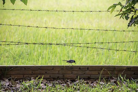 Birds eat worms on the brick wall with barbed wire Background blurry rice paddy field. Banque d'images - 119487999