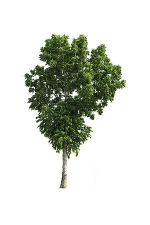 Isolated Bright green tree on a white background 免版税图像