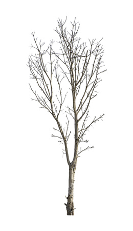 Isolated Deciduous trees But the trunk and branches on a white background with clipping path.