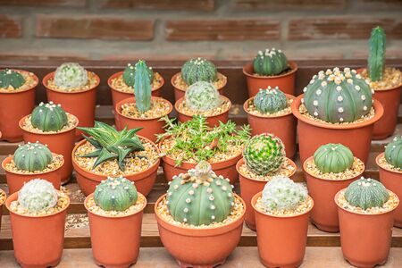 Many Small Cactus For decorative plant on table.