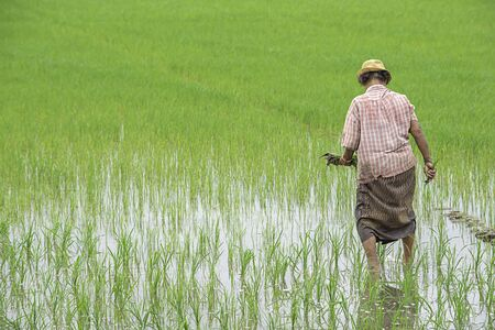 The farmer is a woman Wear a hat holding rice planted in paddy field with The wetlands at BangYai Park , Nonthaburi in Thailand. June 30, 2019