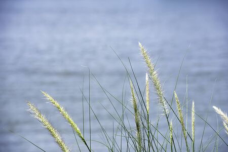 Blossom white grass or Pennisetum pedicellatum That sway in the wind background water.