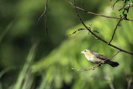 Golden sparrow Bird or Ploceus hypoxanthus on branches Background green leaves Stock Photo