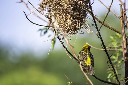 Nest of birds and Golden sparrow Bird or Ploceus hypoxanthus on branches Background green leaves