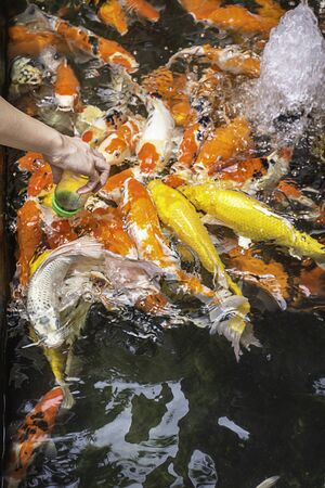 Fancy carp colorful bright on the water eating food in Bottle.