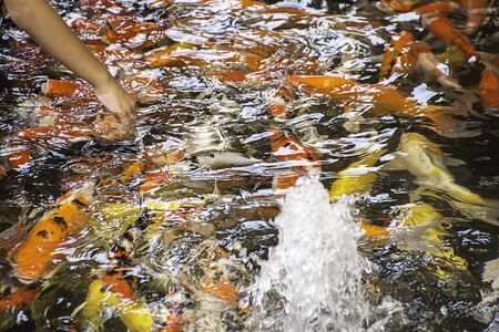 Fancy carp colorful bright on the water eating food. Stock Photo