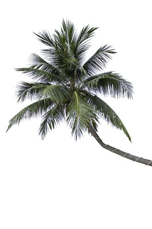 Isolated coconut trees on a white background