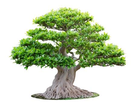 Big bonsai tree isolated on white background Stock Photo