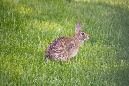 CottonTail Rabbit in a field Reklamní fotografie