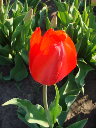 Red single beautiful tulip  First spring flower photo