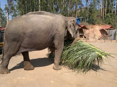 The elephant carries palm leaves in its trunk. Stock fotó
