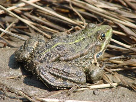 Big brown frog sits by the river