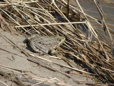 brown water frog sits by the river