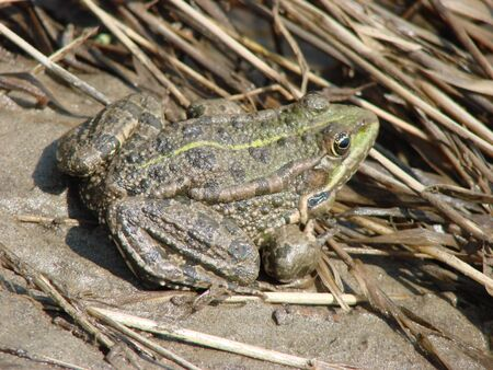 Big water brown frog sits by the river