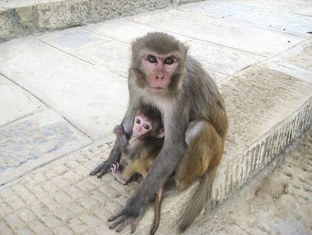 little monkey hiding behind mother, two monkeys