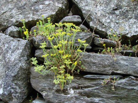Yellow flowers grown on a stone wall