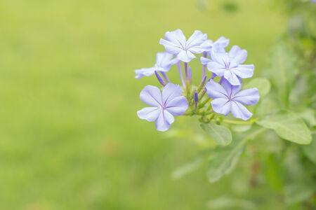 auriculata: Blue Plumbago auriculata flower