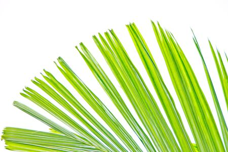 nervure: Isolated palm leaf