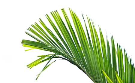 foliage frond: Isolated palm leaf