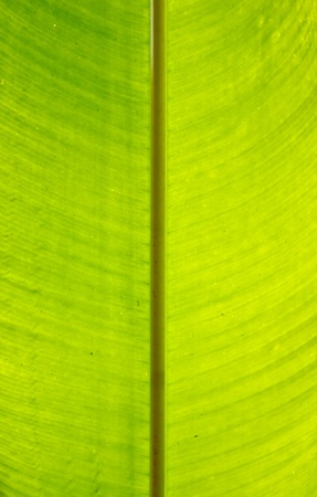 banana leaf using for background photo