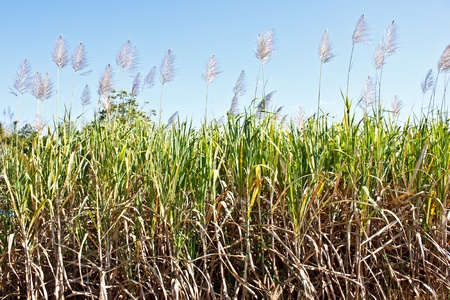 sugar cane field with blue sky photo